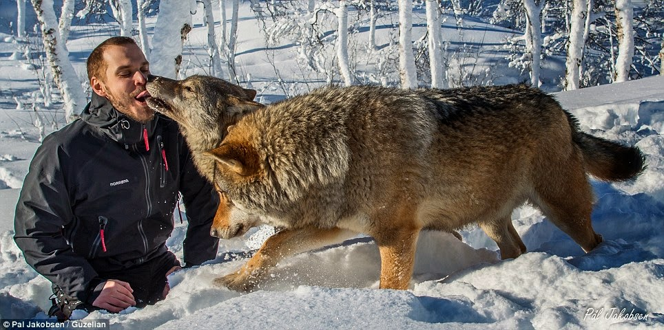 Amazing Photos Show Wild Wolves Licking the Faces of the Visitors