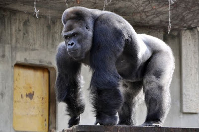 The famous gorilla strikes pose as fans gathered around to watch him