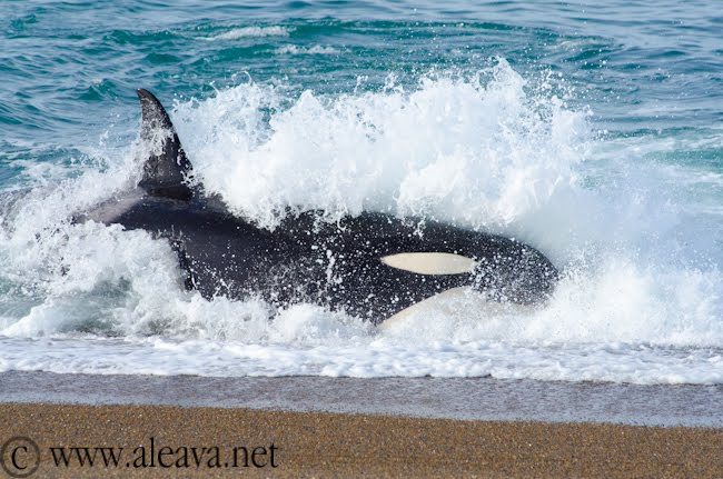 Orca attack in Punta Norte Peninsula Valdes
