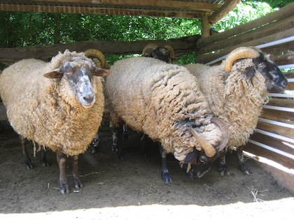 the sojourning spinner hog island sheep