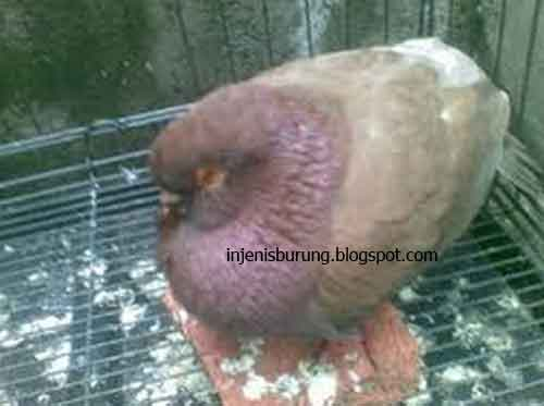 Penyakit E - Coli - Penyakit Burung Dan Cara Mengobati