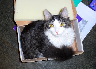 Anakin The Two legged Cat in a Box
