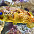 Porcupine Puffer Fish Wallpapers