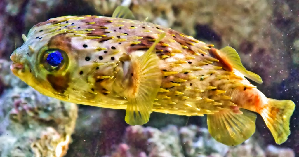 Porcupine puffer fish wallpapers top hd wallpapers for P o fish