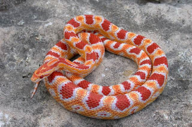 Snake Categories Page  Reptilesncritters