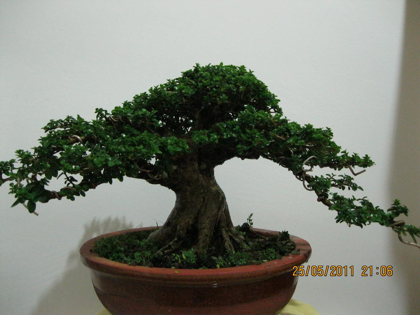Welcome To World Of Bonsai Bonsai For Sell