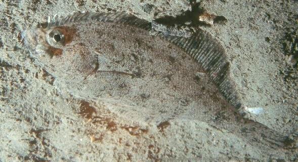 Ikan Halibut