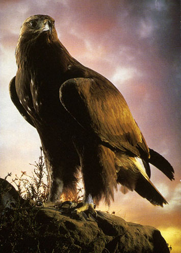 golden eagle hunting wallpaper hunting with golden eagles wa   Golden Eagle Hunting Wallpaper