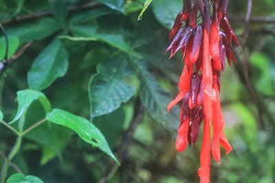 Salvia dombeyi [13.3171 S, 72.6414 W]
