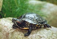 La tortuga de agua. Cuidados, alimentación y enfermedades