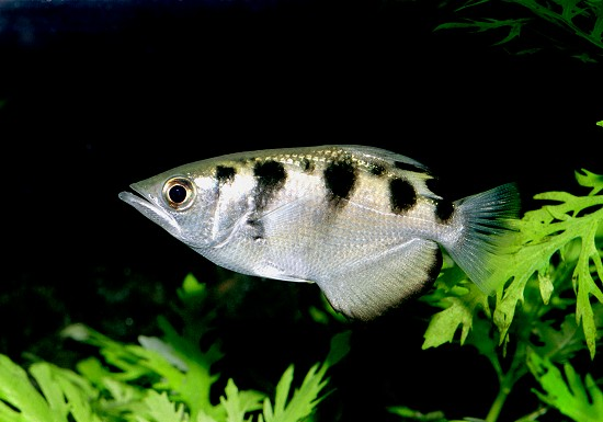 Banded Archerfish Related Keywords & Suggestions - Banded Archerfish ...