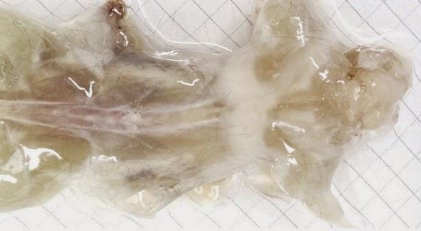 Cientistas criam ratos transparentes