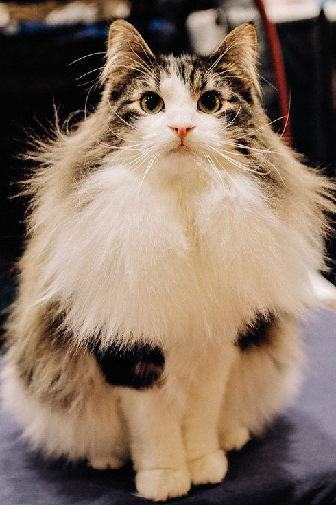 Top 5 cutest fluffy cats that make you crazy