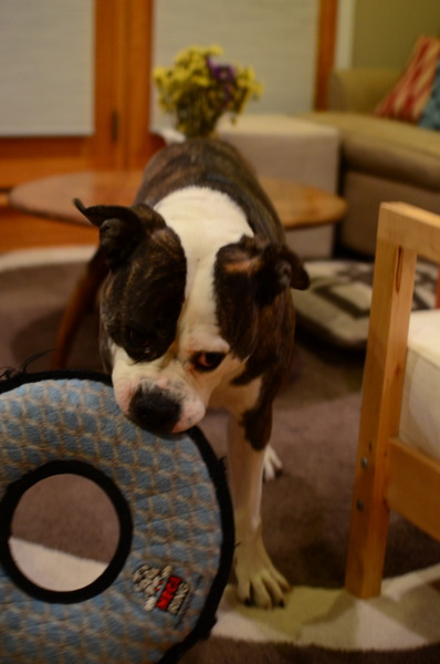 Train Dog To Put Toys Away