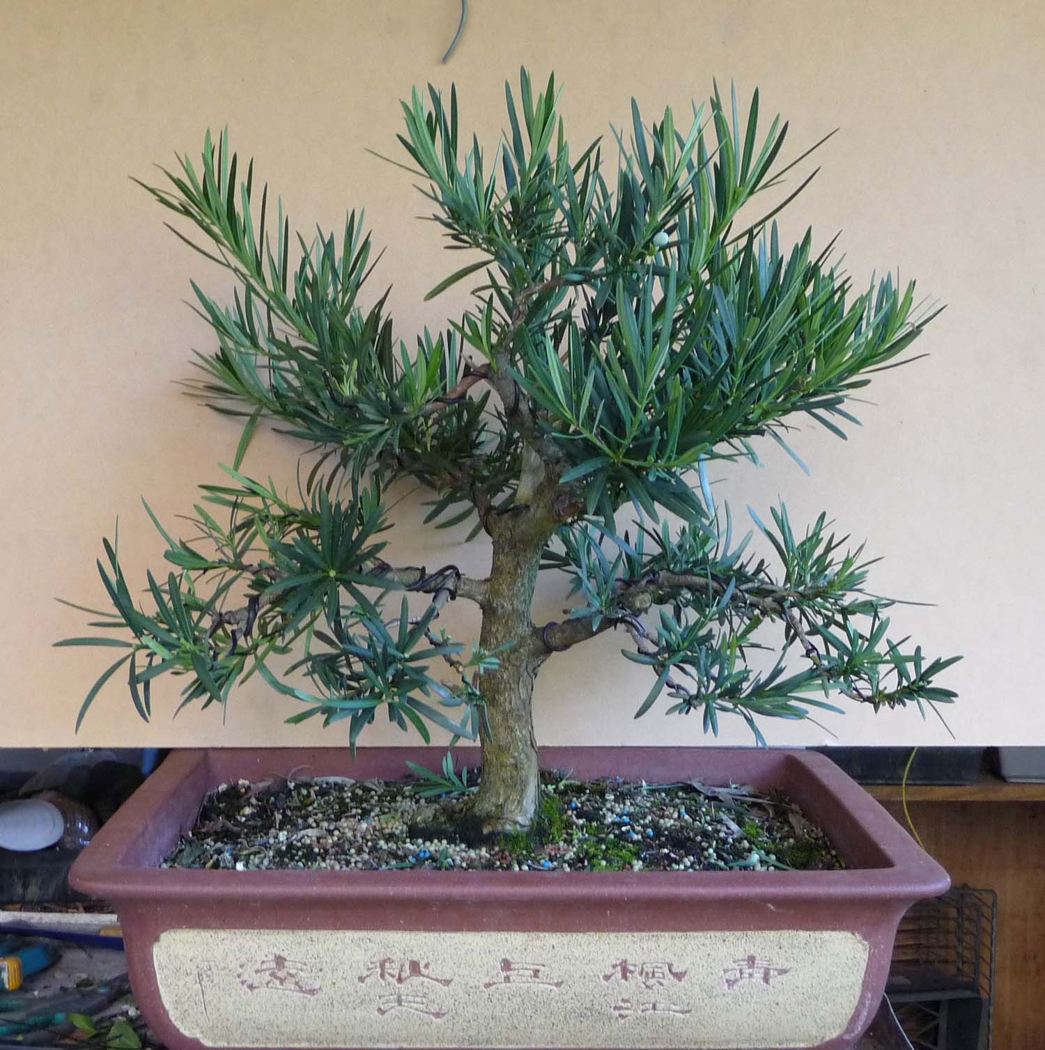 Redlands Bonsai Society Podocarpus Update