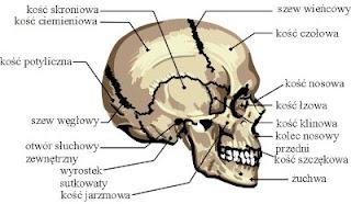 czaszka człowieka rzut boczny