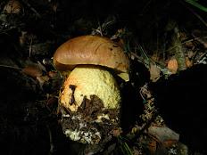 Boletus apendiculatus