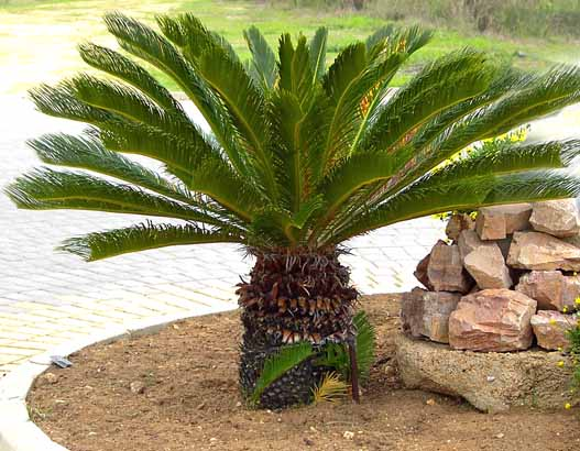 cycas revoluta plantas en valladolid jardines fito. Black Bedroom Furniture Sets. Home Design Ideas