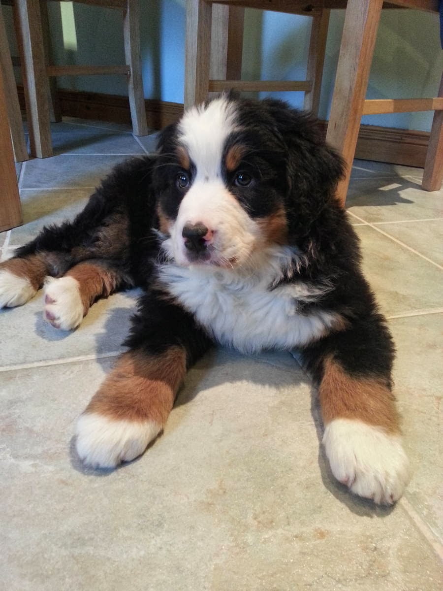 Cute dogs - part 8 (50 pics), cute fluffy Bernese mountain puppy picture