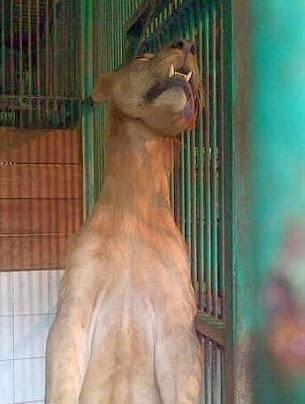 leon colgado en su jaula en zoologico de la muerte en indonesia