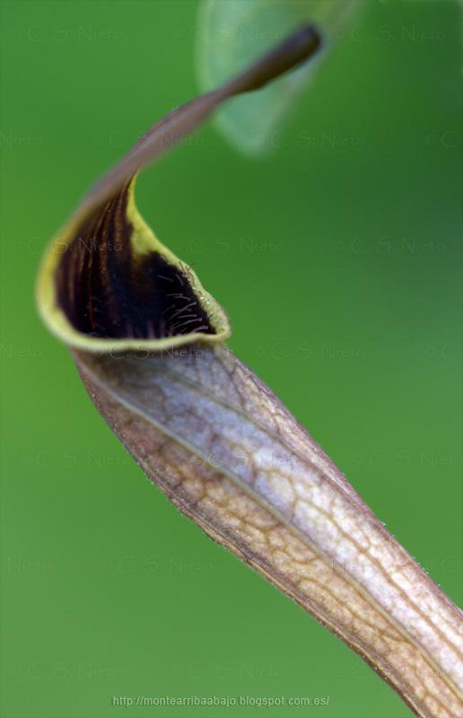 Detalle de la boca y tricomas en la entrada a la flor de Aristoloquia