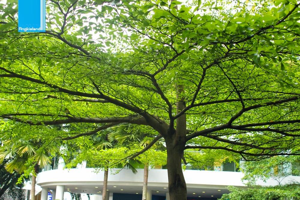 pohon kedamaian