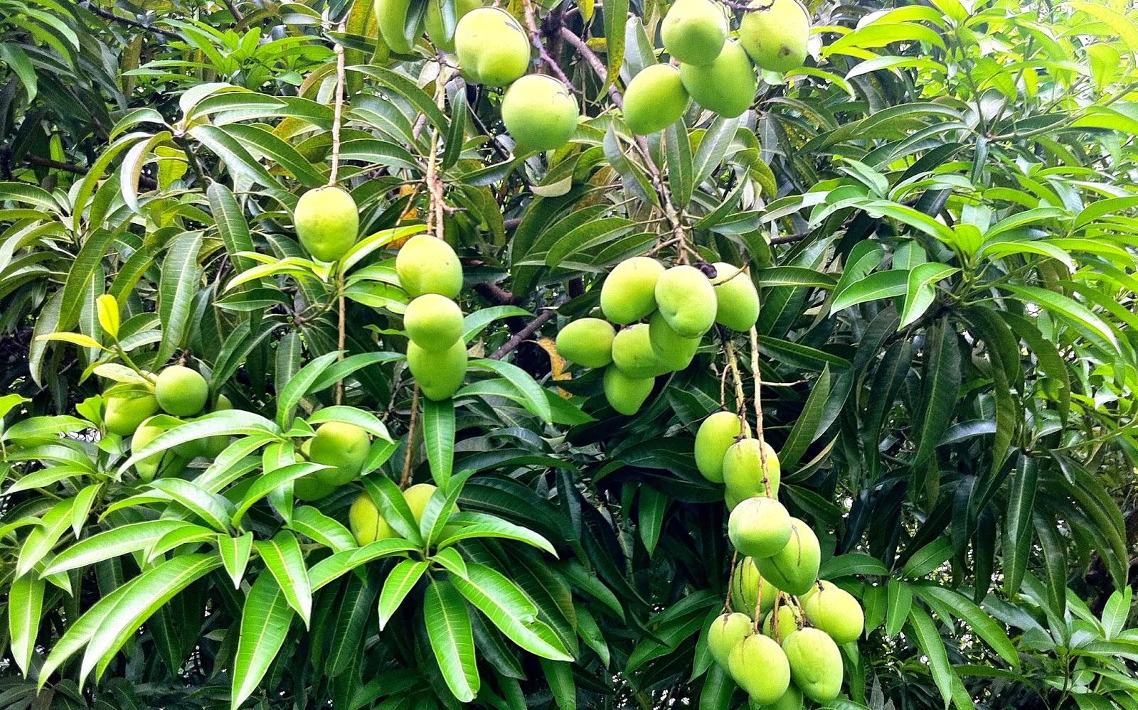 Mango tree not fruiting