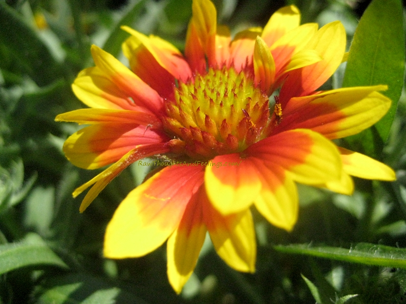Fancy and Beautiful Yellow Blanket Flower | Raw Thoughts ...