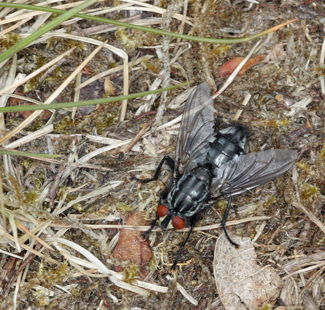 A smartly marked flesh fly, Sarcophaga carnaria, on open ground on Hayes Common, 17 May 2011. Bigger than a house fly. The larvae eat carrion; the adult eats anything that is liquid or can be liquified. Taken with a Canon EOS 450D and EF 100mm macro lens with ring flash, hand held.