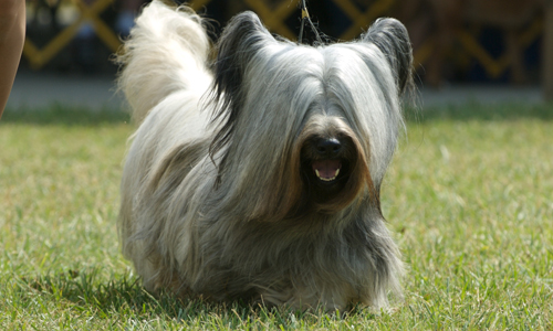 Skye Terrier Puppies high resolution