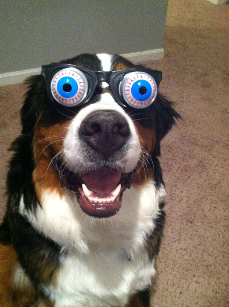funny animal pictures, dog wears funny glasses
