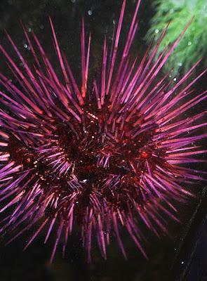 seaurchin 7 Binatang Yang Hidup Ratusan Tahun