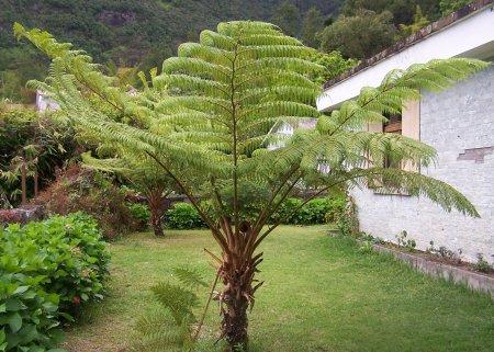 Foug res arborescentes fanjan flore de l le de la r union for Entretien jardin reunion