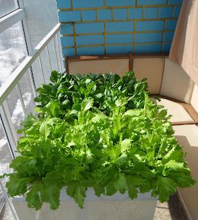 Мини-грядки салата и шпината на лоджии