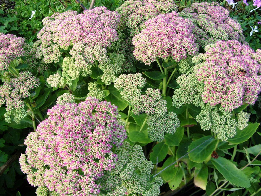 kelli 39 s northern ireland garden spectacular sedum plants