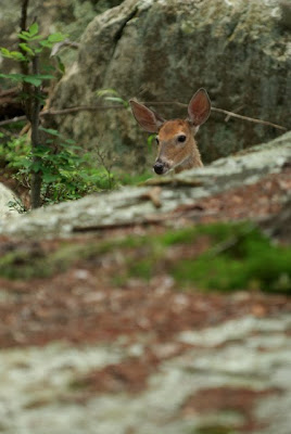 White tail deer on Olmstead Island at C&O Canal NHP