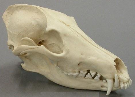 Coyote skull vs wolf skull - photo#19