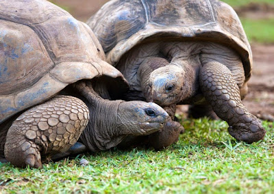 Zenith Galapagos - Turtle