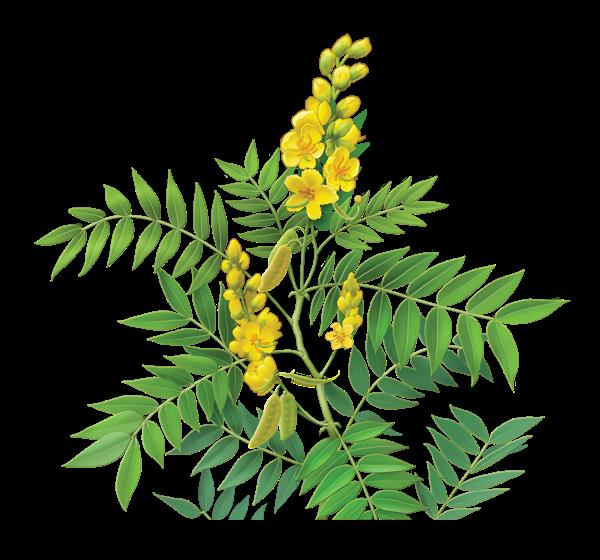 Benefits Of Senna (Cassia senna) For Health