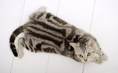 Grey American Shorthair Cat