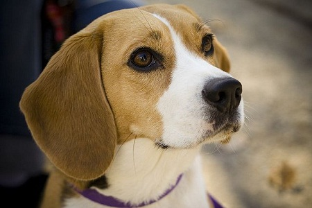 Beagle Dog Information