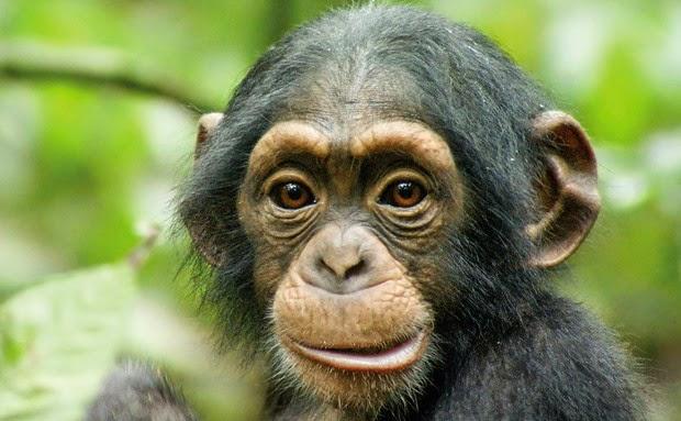 natureza chimpanzé