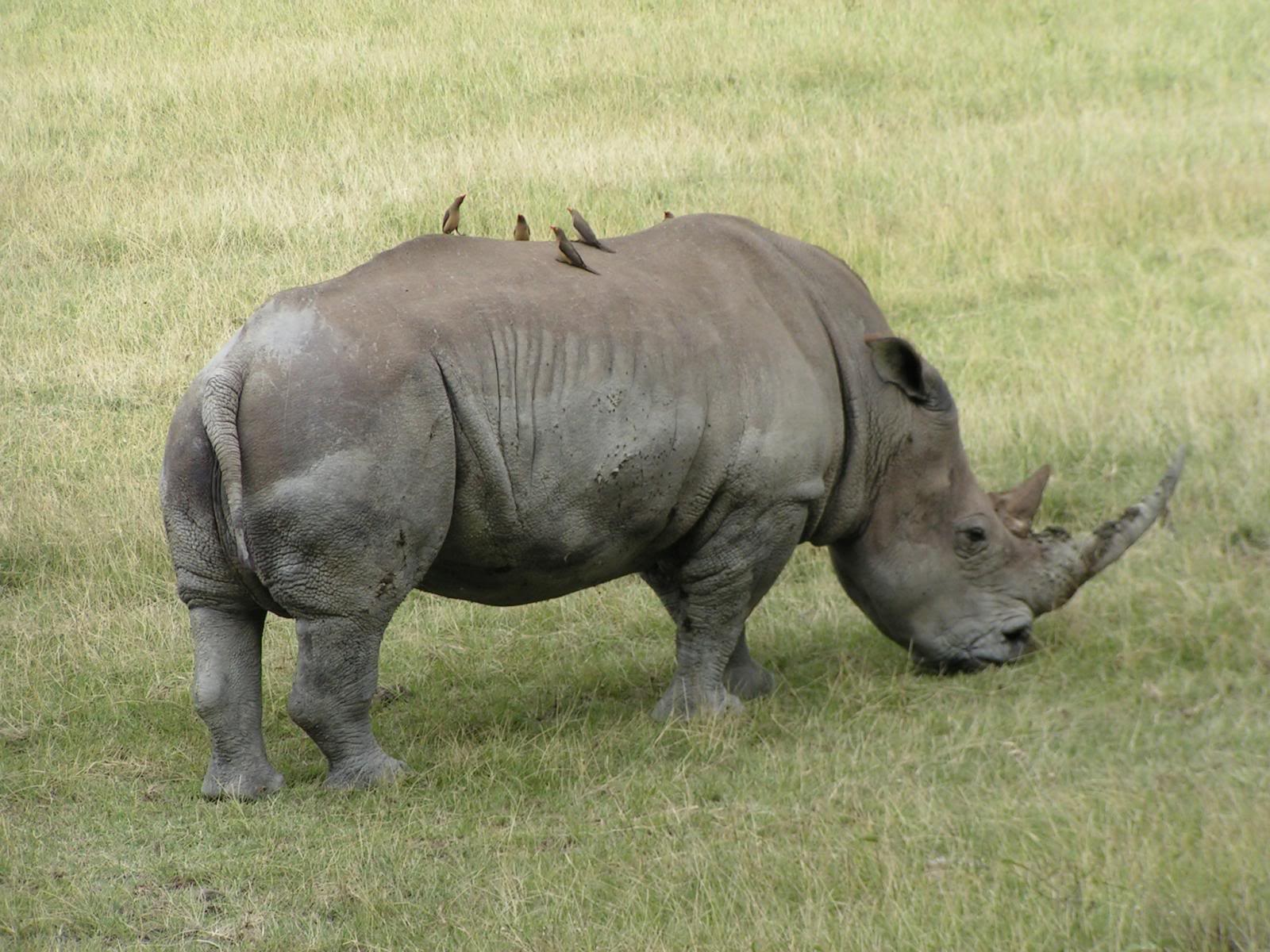 an oxpecker and rhinoceros relationship