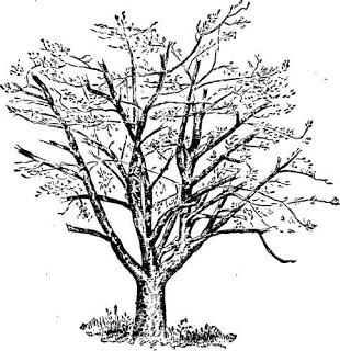 Apple Tree Clip Art Black and White