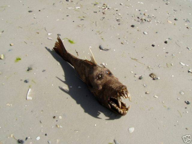 Fish Found in Florida a Washed up Florida Devil Fish