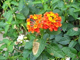 Bunga lantana Tanaman pengusir nyamuk