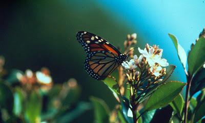 Borboleta monarca pousando na flor