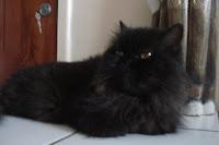 Gata preta, Dodó, descansa no chão da sala