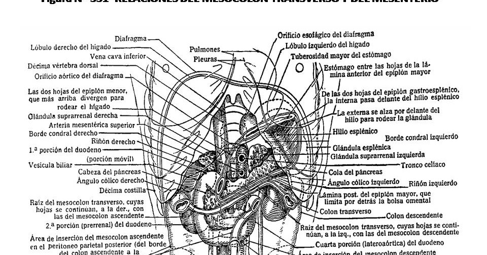 ATLAS DE ANATOMÍA HUMANA: 331. RELACIONES DEL MESOCOLON TRANSVERSO Y ...