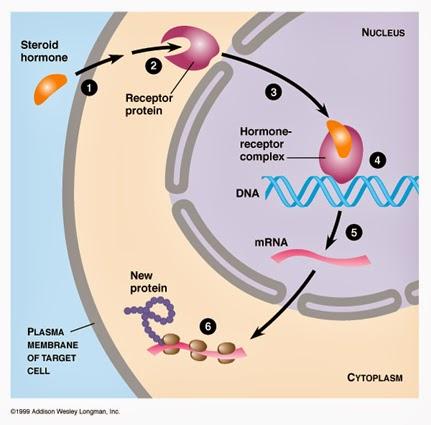 hormonios esteroides quais sao